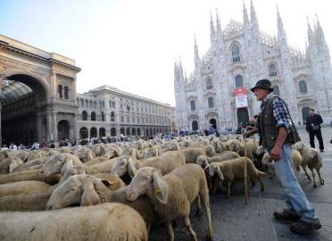 pecore_a_milano